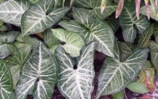 Цветок Сингониум: уход в домашних условиях, фото, размножение, пересадка, виды