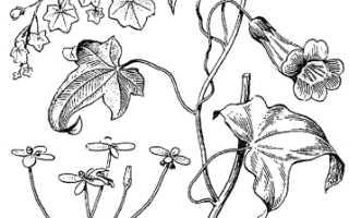 Семейство Норичниковых растений: список, описание, роды и виды