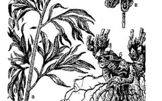 Семейство Пионовых растений: список, описание, роды и виды