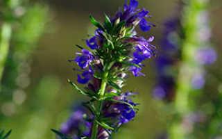 Растение иссоп: выращивание из семян, фото, посадка и уход в открытом грунте, свойства