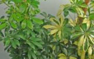 Растение Шеффлера: уход, выращивание, полив, пересадка, размножение, виды