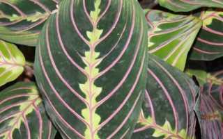 Правила ухода, описание с фото Маранты беложильчатой, двухцветной и тростниковой