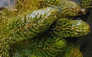 Аквариумный Роголистник: содержание, выращивание и виды, размножение