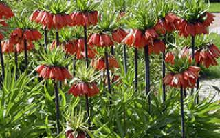 Растение Рябчик – выращивание и уход: почва, пересадка. Виды рябчиков