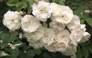 О размножении роз – необычные способы