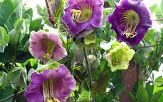 Семейство Синюховых растений: список, описание, роды и виды