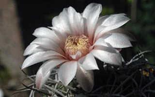 Комнатные кактусы: названия и фото, особенности выращивания