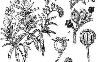 Семейство Ладанниковых растений: список, описание, роды и виды