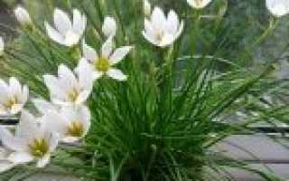 Цветок Зефирантес – уход: полив, пересадка, размножение. Виды зефирантеса