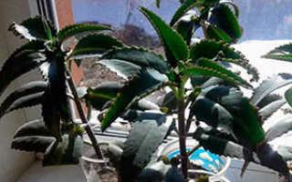 Семейство Толстянковых растений: список, описание, роды и виды