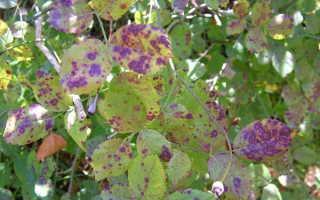 Пятнистости листьев: бурая, белая, черная – лечение и профилактика