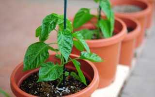 Подкормка рассады – когда и как вносить удобрения, их состав
