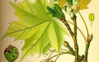 Семейство Клетровых растений: список, описание, роды и виды