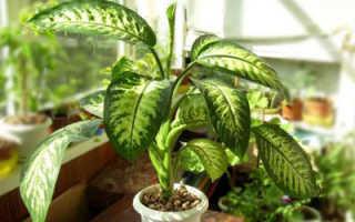 Цветок Диффенбахия: уход в домашних условиях, фото и виды, размножение и пересадка