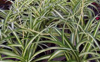 Растение Хлорофитум: уход в домашних условиях, фото, виды, почему желтеет и сохнет
