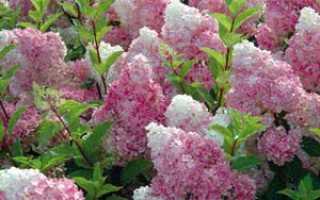 Гортензия метельчатая – выращивание, сорта, история Гортензии метельчатой