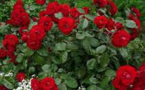 Что можно посадить рядом с розами
