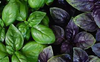 Растение базилик: выращивание из семян в открытом грунте, фото, рассада на подоконнике