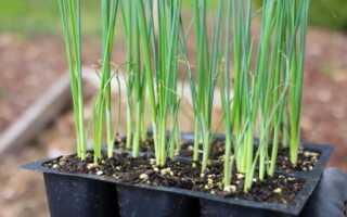 Лук-порей: посадка и уход в открытом грунте, фото, посев на рассаду, как вырастить