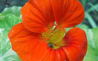 Семейство Настурциевых растений: список, описание, роды и виды