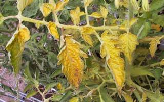 Болезни помидоров и их лечение в теплице и в открытом грунте, почему желтеют листья