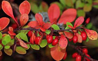 Семейство Барбарисовых растений: список, описание, роды и виды