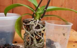 Как правильно пересадить орхидею – обновление почвы, выбор горшка, процесс пересадки