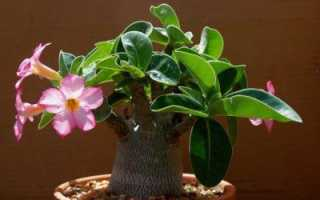Правила ухода, описание с фото Адениума тучного (обессум), боехмианум, многоцветкового