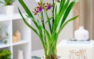 Орхидея Зигопеталум: уход в домашних условиях, виды и пересадка, размножение