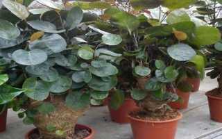Цветок Полисциас: уход в домашних условиях, фото, размножение и виды – бальфура