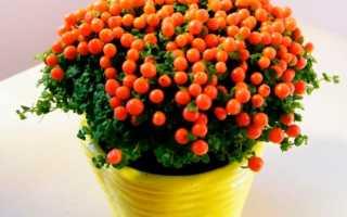 Цветок Нертера: уход в домашних условиях, фото и виды, размножение и пересадка