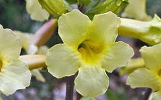 Семейство Бигнониевых растений: список, описание, роды и виды