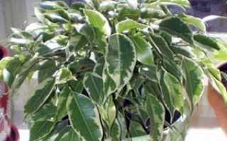Почему у фикуса Бенджамина опадают листья: полив, почва, воздух, болезни