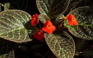 Цветок Эписция: уход в домашних условиях, фото и виды, размножение и пересадка