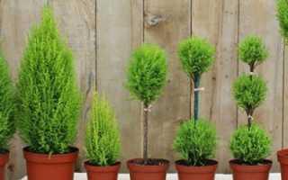 Растение Кипарис: уход в домашних условиях, фото, пересадка, размножение, почему сохнет