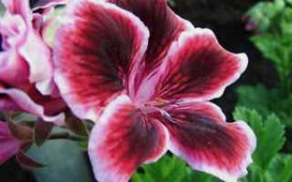 Цветок пеларгония королевская – уход в домашних условиях: размножение пеларгонии королевской черенками