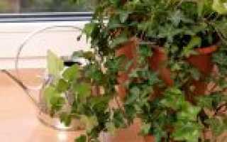 Растение Плющ – уход и выращивание: размножение, полив, пересадка, подкормка. Плющ обыкновенный