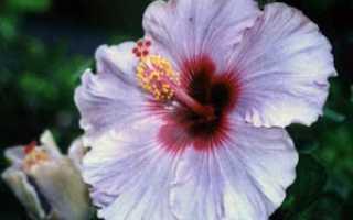 Цветок Гибискус: уход в домашних условиях, фото и виды, размножение и пересадка, цветок смерти