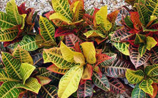 Цветок кротон: уход в домашних условиях, фото и виды, размножение и пересадка