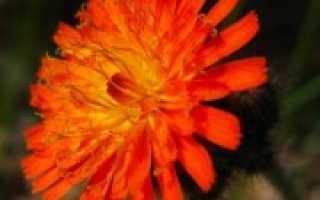 Семейство Сложноцветных растений: список, описание, роды и виды