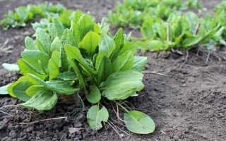 Щавель: выращивание из семян в открытом грунте, фото, полезные свойства: вред и польза