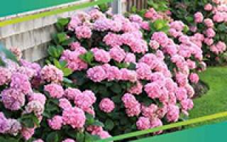 Растение Петрушка: посадка и уход в открытом грунте, фото, как вырастить на подоконнике