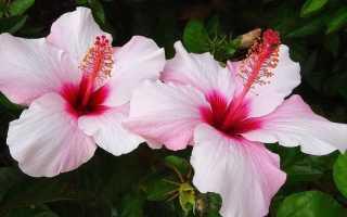 Уход за китайской розой в домашних условиях, фото, размножение, обрезка