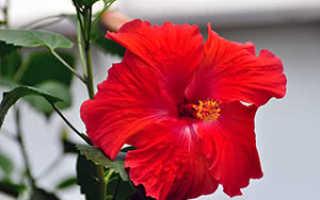 Информация о Гибискусе: выращивание и фото
