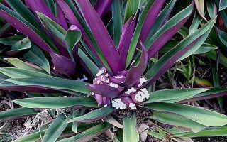 Цветок Рео: уход в домашних условиях, фото, вред и польза, приметы