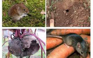 Способы борьбы с грызунами на огороде и в саду, виды и чем опасны
