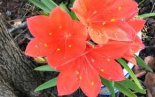 Растение Валлота: уход в домашних условиях, фото и виды, пересадка и размножение