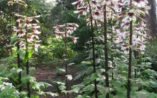 Растение Кардиокринум – уход и описание: посадка, размножение, полив. Виды кардиокринума
