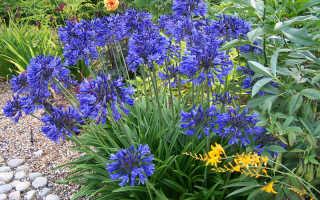 Цветок Агапантус: уход в домашних условиях, фото и виды, выращивание из семян