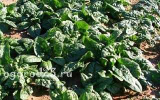 Шпинат: выращивание из семян в открытом грунте и домашних условиях, фото, вред и польза